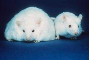 OB/OB vs. Lean Mouse
